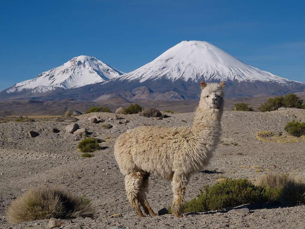 Les anticorps dérivés de lamas seront-ils tolérés par l'Homme ? La question reste posée. © Marcel Hurni, Fotolia