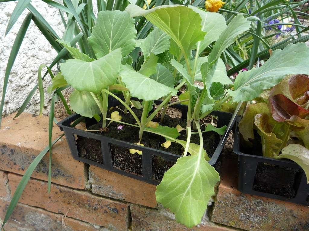 Minimottes de choux, prêtes pour la plantation en pleine terre au potager. © S. Chaillot