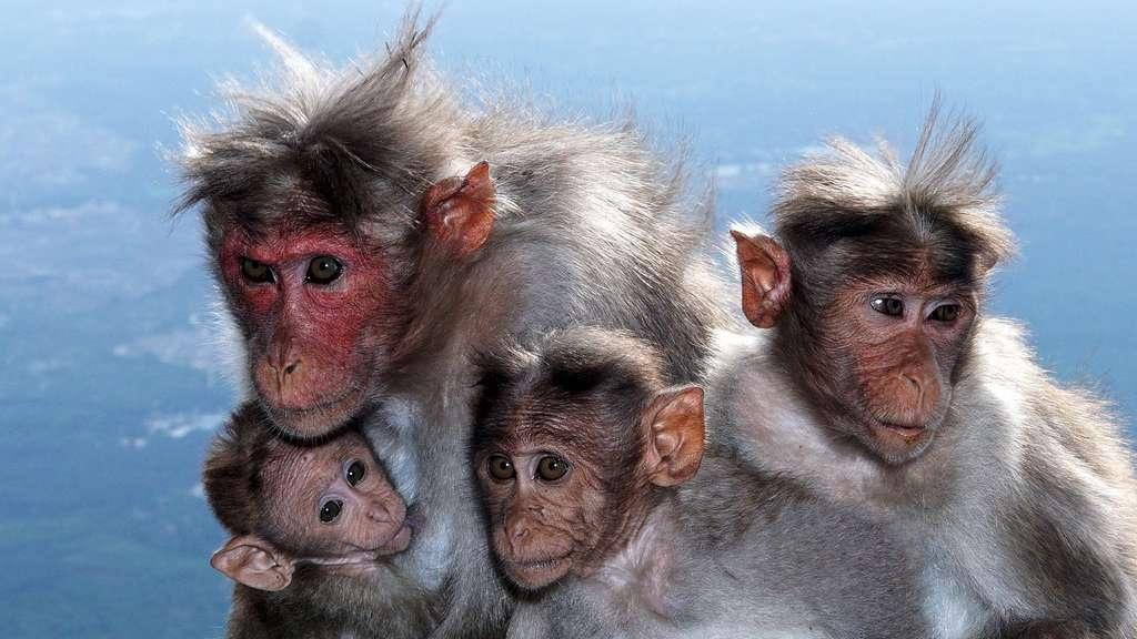 Le macaque à bonnet