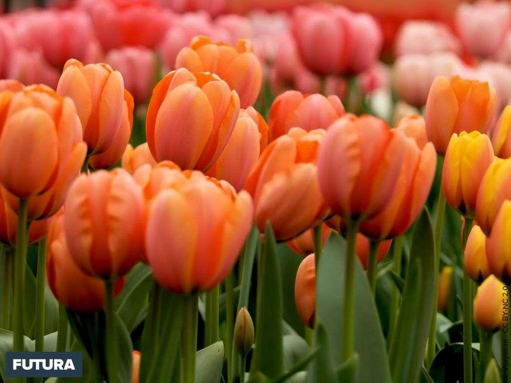 Champs de tulipes - Parc Keukenhof
