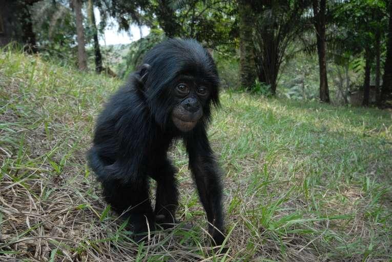 Bonobo juvénile. © Pierre Fidenci, CC by-SA 2.5