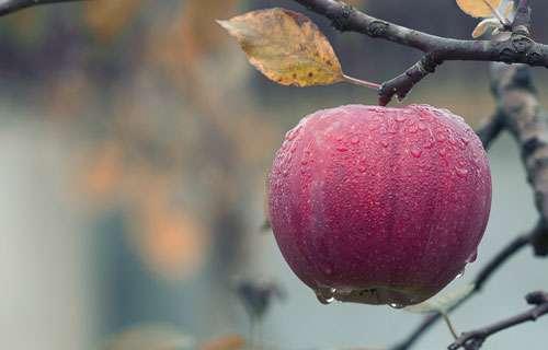 Les dernières pommes avant l'hiver. © Mplposcar, Pixabay, DP