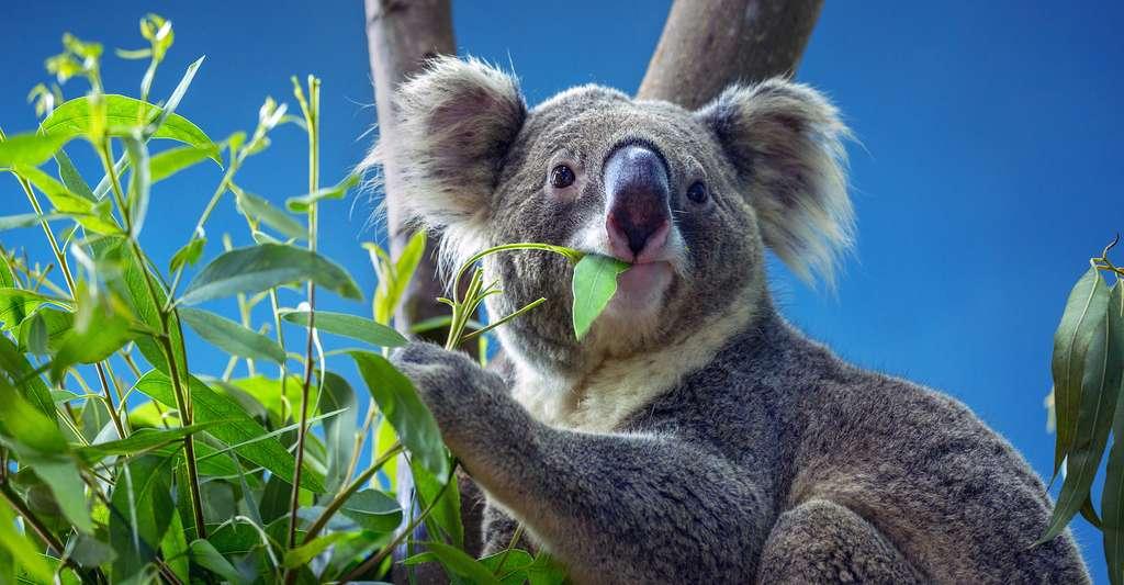 Le chimpanzé et le koala sont des animaux qui, tout comme l'homme au début de son histoire, comptent sur leur sensibilité tactile pour trouver de la nourriture. Et, tout comme l'homme, leurs doigts associent empreintes digitales et corpuscules de Pacini. © MrPreecha, Adobe Stock