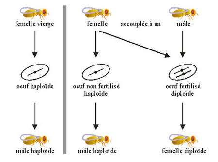 Figure 3 : Explication schématique de la capacité des femelles parasitoïdes à choisir le sexe de leurs descendants grâce à la parthénogénèse dire « arrhénotoque ».