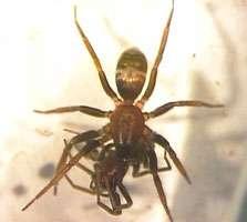 La Micaria sociabilis peut se trouver en Espagne, en France, en Italie, mais aussi en Europe centrale. La biologie et l'écologie de cette araignée sont très mal connues. © Springer