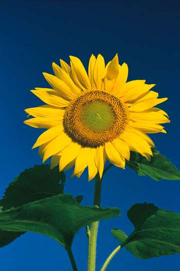 Tournesol. Source Commons