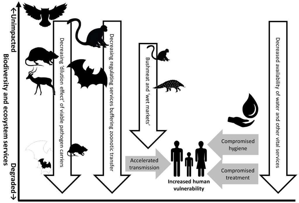 Ce schéma montre comment la dégradation de l'écosystème impacte le risque de pandémie. D'une part, en augmentant le risque de transmission des animaux aux Hommes, et d'autre part, en compromettant les mesures de limitation de la transmission interhumaine. © Mark Everard et al., University of the West of England