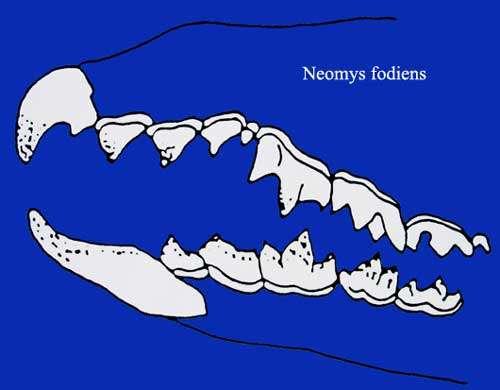 Neomys fodiens denture. © Toute reproduction et utilisation interdites