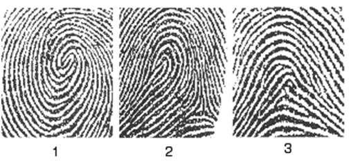La majorité des empreintes digitales sont de trois types : empreintes en spirale (1), en boucle (2), ou en tente (3). © DR