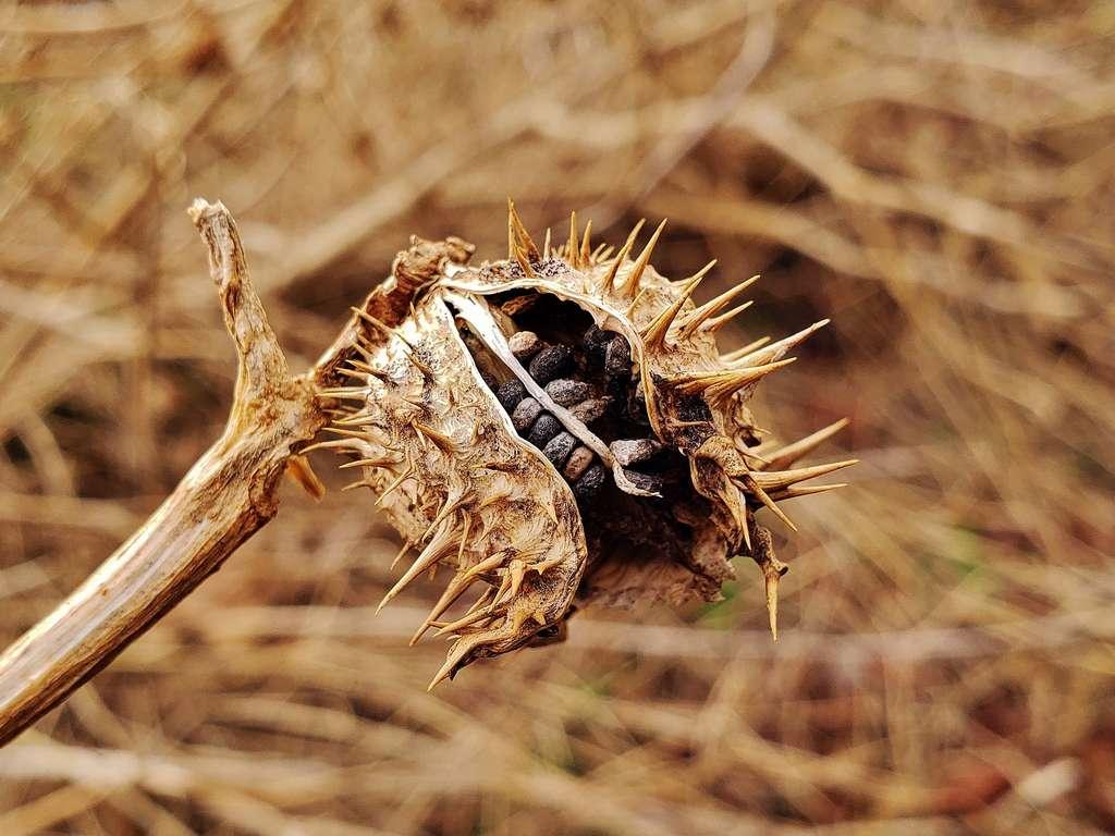 Le fruit du datura est une capsule épineuse pouvant renfermer jusqu'à 500 graines. © Matthew Beziat, iNaturalist