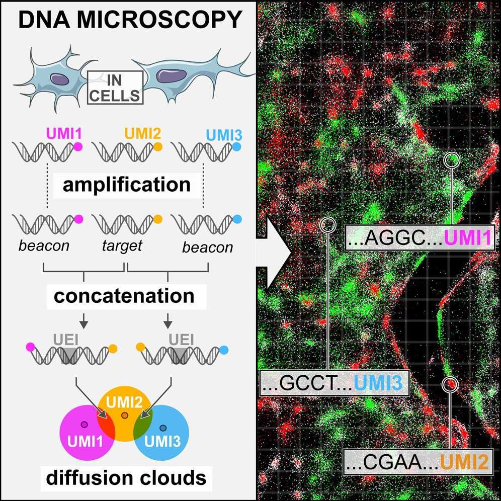 Une illustration de la technique de microscopie à ADN. 1 : Les molécules d'ADN sont amplifiées et « étiquetées » avec de petits morceaux d'ADN. 2 : Une amplification permet d'obtenir d'importantes quantités d'ADN étiqueté. 3 : Lorsque deux cellules sont à proximité l'une de l'autre, leurs étiquettes vont se lier pour créer une nouvelle étiquette unique (UEI). 4 : En étudiant la position de ces UEI, on reconstruit leur disposition spatiale d'origine. © Joshua Weinstein, Cell, 2019