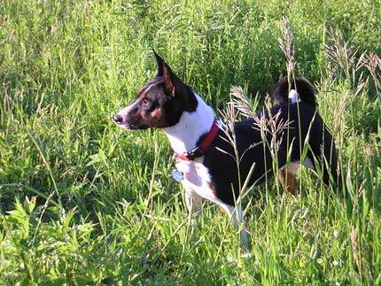 Basenji tricolor. © Mark K., Wikimedia commons, CC by-nc 3.0