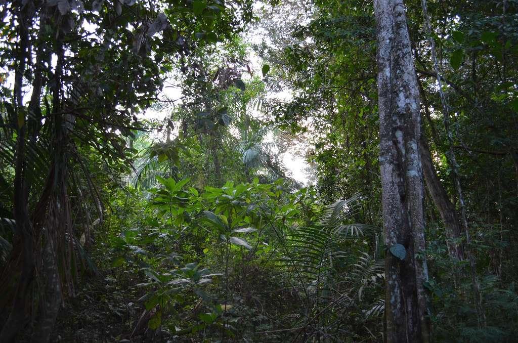 Les forêts tropicales sont présentes en Afrique (environ 5 millions de km2), en Amérique (environ 9 millions de km2) et en Asie (environ 2,6 millions de km2). Elles couvrent au total une surface de 16,81 millions de km2. © SiberianDream, Flickr, cc by nc sa 2.0