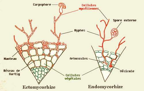 La mycorhize, un organe symbiotique mixte. © Grogg, CC 1.0