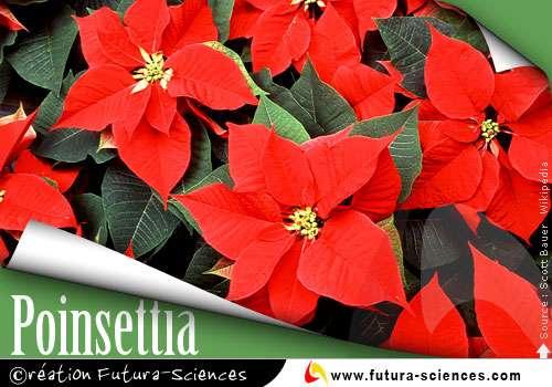 Poinsettia Etoile de Noël