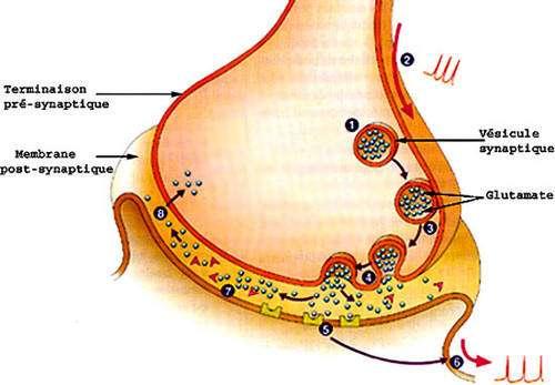 Synapse et fonctionnement : 1. vésicule pré-synaptique et glutamate. 2. Arrivée du potentiel. 3. Fusion des membranes vésiculaires (exocytose). 4. Libération du neurotransmetteur, ici le glutamate. 5. Fixation par le récepteur. 6. Nouveau potentiel dans le neurone suivant. 7. désactivation enzymatique du transmetteur. 8. Recapture (endocytose) et le cycle recommence... © Reproduction et utilisation interdites