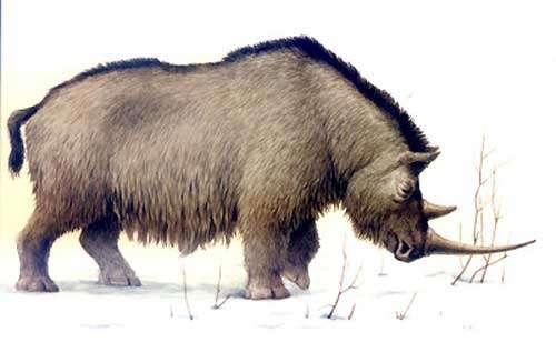 Rhinocéros laineux (reconstitution). © DR