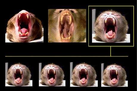 Ces photos montrent la variation de la longueur des canines d'un macaque et de son statut de dominant… donc de grand bâillleur. © Olivier Walusinski, tous droits réservés