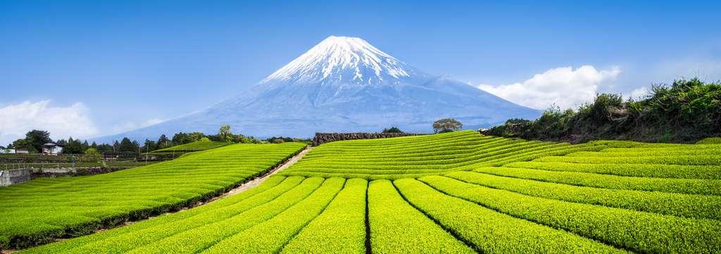 Voici un champ de thé, au loin, devant le Mont Fuji, au Japon. © Eyetronic, Adobe Stock