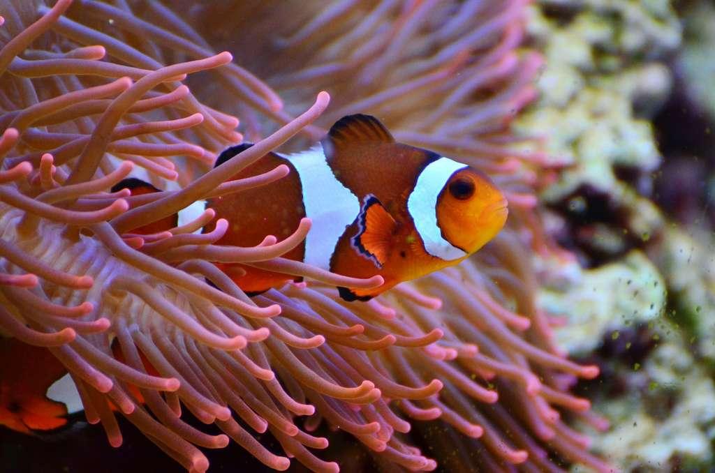 Le succès de la reproduction du poisson-clown dépend de son environnement. Outre la pollution lumineuse qui menace l'éclosion des œufs, Amphiprion percula n'a pas la capacité génétique de s'adapter à ces modifications dues au réchauffement climatique. © Pxhere, Domaine public, CC0