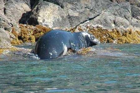 Le phoque moine (Monachus monachus) a déserté les côtes françaises, même en Corse. Il s'est réfugié dans les îles des Sporades, en Grèce. © Jean-Marie Cornaire / Licence Commons