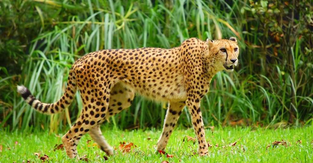 La survie du guépard dépend de l'Homme. © Restless Mind, CC by-nc 2.0