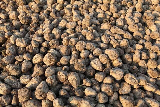 Pour le débat sur les OGM, le HCB s'est intéressé aux cultures de betteraves, mais aussi de pommes de terre, de maïs et de soja. © Joost J. Bakker IJmuiden, Flickr, cc by 2.0