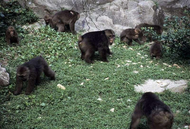Groupe de macaques du Tibet in natura. © Noël Rowe, GNU FDL Version 1.2