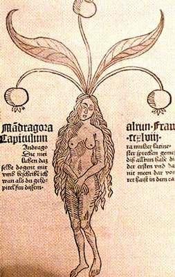 Les sorcières du Moyen Âge utilisaient les propriétés hallucinatoires de la mandragore. © DR
