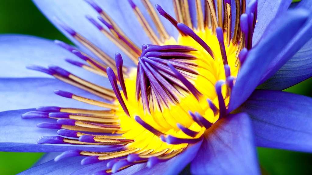 Le nénuphar, une plante flottante aux fleurs solitaires
