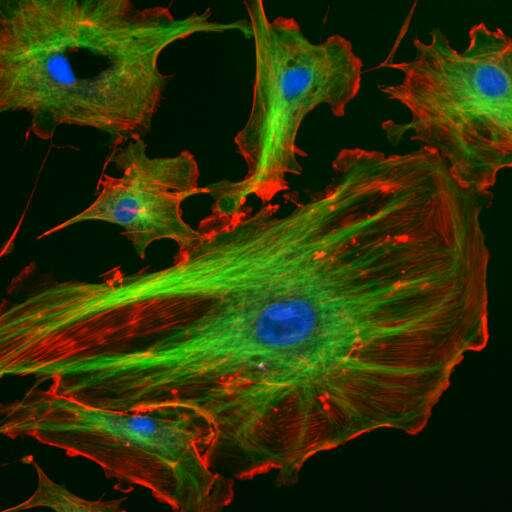 Les cellules endothéliales, ici représentées, tapissent l'intérieur de la paroi des vaisseaux sanguins et sont sensibles à la microgravité, qui les fait vieillir plus vite. © NIH, Wikipédia, DP