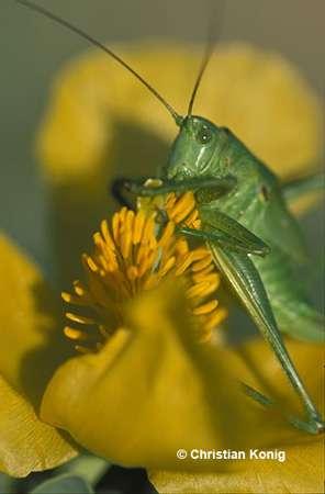 Sauterelle verte : œil composé, on ne voit pas les ocelles ici. © Christian König, reproduction et utilisation interdites