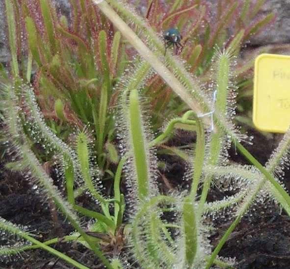 Mouche apeurée perdue dans une jungle de Droséra.