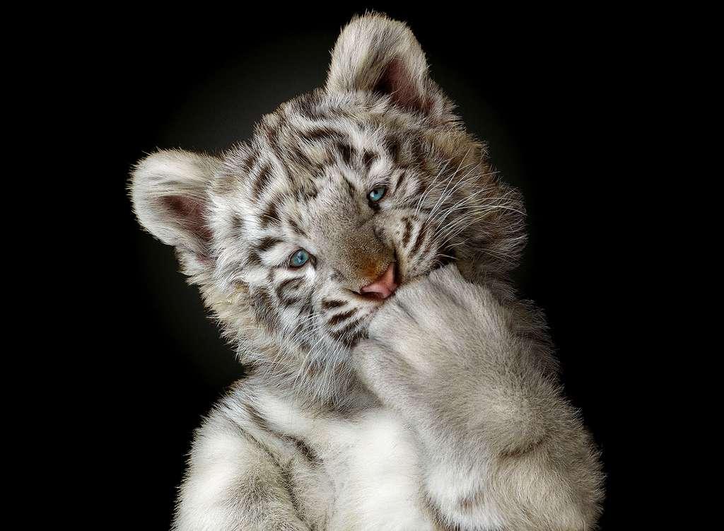 Le tigre blanc, résultat d'une anomalie génétique