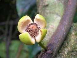 Uvariopsis bisexualis, un arbre de la famille des annonacées (celle de l'Ylang-Ylang), ne vit qu'en Tanzanie. L'expansion de l'agriculture dans les forêts où il pousse en réduit le territoire. Il est considéré comme en danger. © Quentin Luke