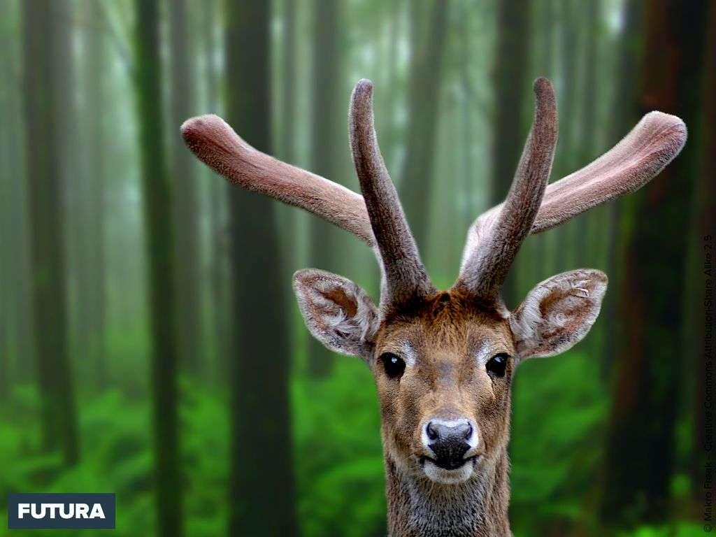 La biche est la femelle du cerf plus petite elle pèse entre 80 et 110 kilos.
