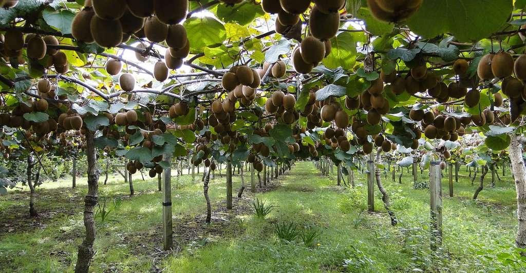 Comment bien planter un arbre fruitier ? Ici, une plantation de kiwis. © Fruchthandel Magazin, Pixabay, DP