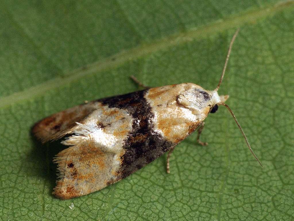 La Cochylis (Eupoecilia ambiguella) est un petit papillon dont la chenille est un ravageur connu sous « tordeuse de la vigne » . © Ilia Ustyantsev, Flickr