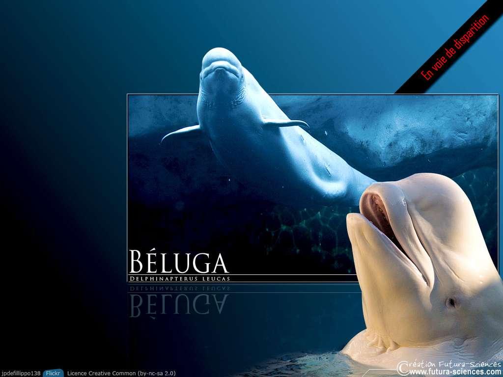 Beluga en voie de disparition !