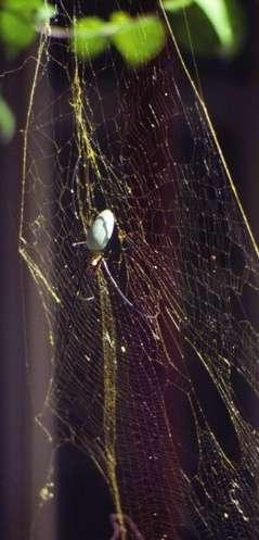 Les araignées du genre Nephila (comme ici Nephila pilipes) construisent de grandes toiles en soie dorée. © Biology Letters