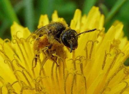 On distingue nettement sur cette image les grains de pollen qui se sont collés sur cette abeille (Halictus sp.) de la famille des Halictidae et les corbeilles lourdement chargées des pattes postérieures. © Patrick Straub
