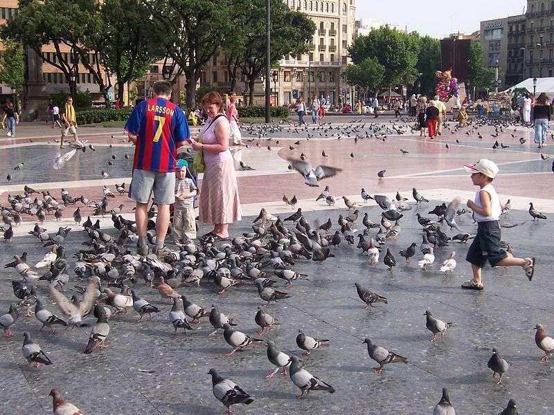 « Le rat du ciel » est parfois le surnom donné au pigeon commun. Si elle est parfois détestée, l'espèce est aussi appréciée de nombreux citadins, qui n'hésitent pas à la nourrir malgré certaines interdictions municipales. © Sergi Larripa, Wikimedia Commons, cc by sa 2.5