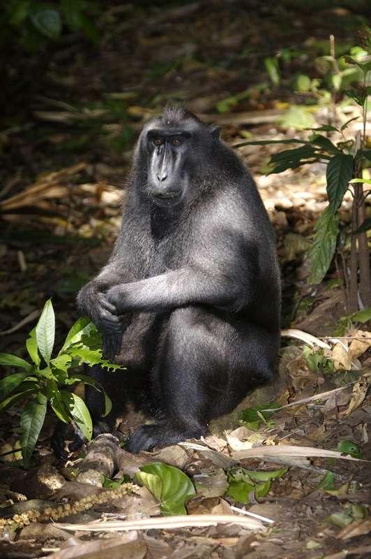 Macaque à crête. © Lip Kee Yap, CC by-SA 2.0