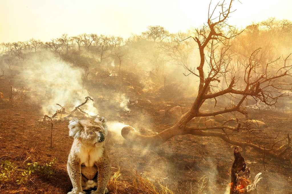 Le koala est devenu l'emblème de la souffrance animale en Australie, mais il n'est pas le plus menacé pour les incendies qui ravagent le pays. © bennymarty, Adobe Stock