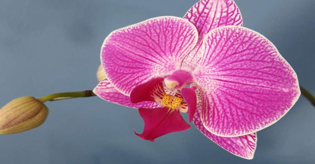 Orchidée Phalaenopsis. © NatashaG, Domaine public