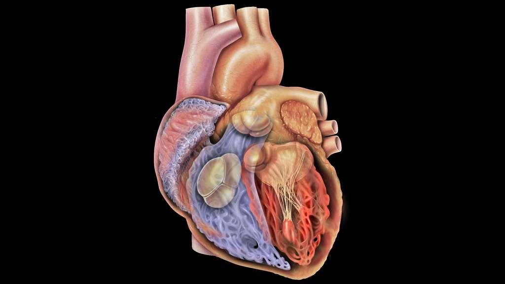 Vue du cœur : les valves