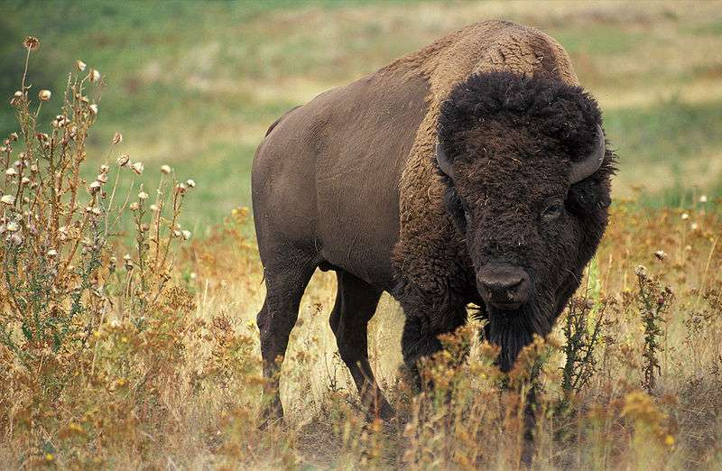 Bison américain. © Jack Dykinga, Wikipédia domaine public