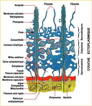 (1) la sarcomatrice, fine, zone interne, de cytoplasme granuleux, pigments, en connexion avec la partie externe de l'endoplasme au travers des fusules. Les pseudopodes s'individualisent aux dépens de cette zone. (2) la calymma, zone médiane formée de cytoplasme gélatineux, caractérisée par l'abondance de vacuoles digestives et d'alvéoles (vacuoles ouvertes sur le milieu extérieur). Cette calymma est souvent colorée par les inclusions et symbiontes (zooxanthelles). (3) le sarcodictyum, couche fine de cytoplasme réticulé collé à la paroi externe.