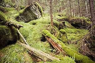 Paysage typique dans une forêt primaire : les troncs d'arbres morts abritent de nombreuses populations animales et végétales. © Mircea Struteanu/WWF
