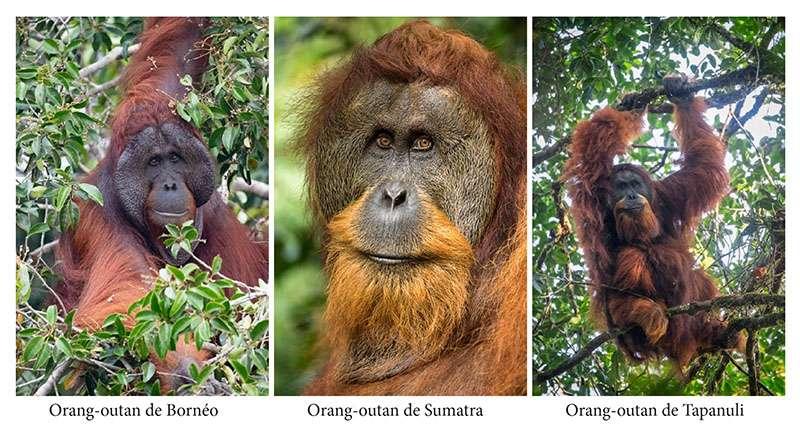 Les trois espèces d'orangs-outans : Pongo pygmaeus, Pongo abelii et Pongo tapanuliensis. © Maxime Aliaga, tous droits résevés